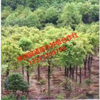 基地直供湖南再生香樟,多杆香樟,香樟小苗,丛生香樟价格