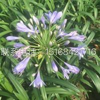 自产自销,百子莲、蜘蛛蓝盆栽 地栽、常绿萱草、菲白竹等