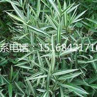 全年批发大叶吴凤草、自产自销菲白竹、喷血花盆栽!欢迎随时联系