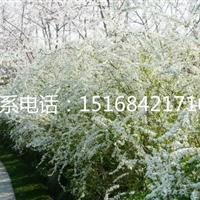 大量供应喷雪花盆栽、金丝桃、紫娇花、全年批发大叶吴凤草!