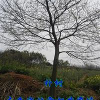 樸樹價格|南京多桿叢生樸樹價格|造型樸樹價格