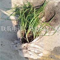 葱兰韭兰 现货大量供应中 浙江地区最专业的苗木供应商
