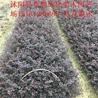 供应红花继木杯苗红花继木价格红花继木图片