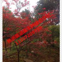基地直供湖南红枫、五角枫,三角枫,日本红枫,枫香等工程苗