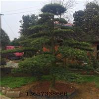 15公分造型罗汉松价格供应15公分湖南造型罗汉松树桩