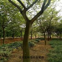樸樹價格|多桿叢生樸樹價格|新品種樸樹價格