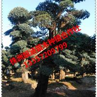 基地直供湖南榆树造型榆树,精品造型榆树、丛生榆树,造型榆树桩