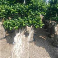 福建地区供应榕树造型