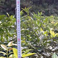 供应花梨木(鄂西红豆树)苗