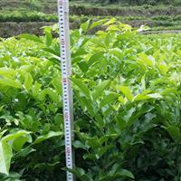 供应花梨木(鄂西红豆树)1--3年生苗