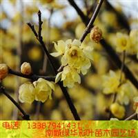 腊梅腊梅树苗黄梅花苗腊梅盆景梅花盆栽苗素心馨口虎蹄腊梅梅花树