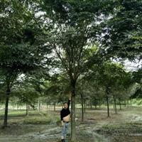 浙江地区供应15-20公分优质榉树