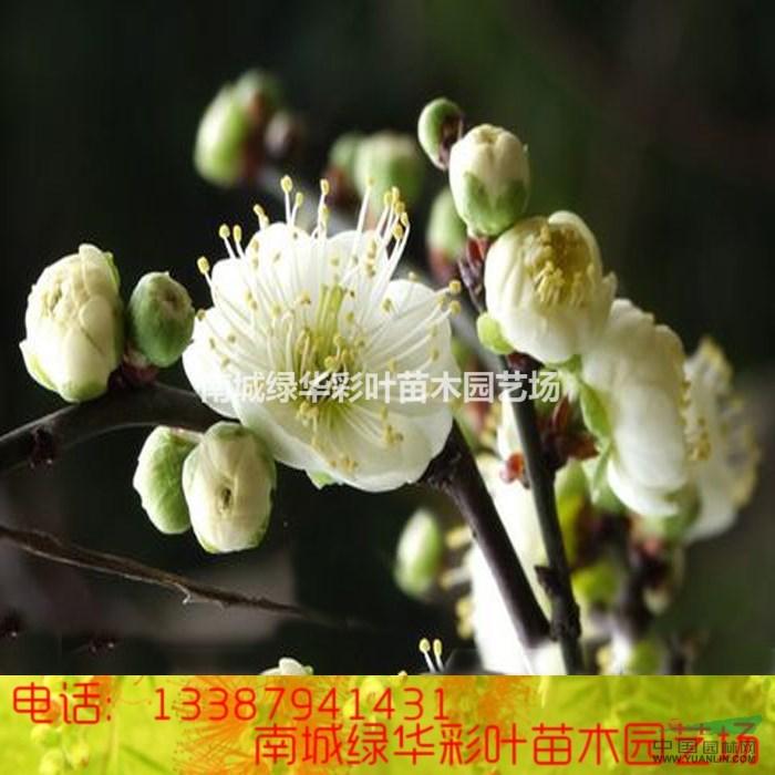 正宗金钱绿萼梅盆栽梅花 绿梅花小苗 红梅花腊梅花苗木包成活