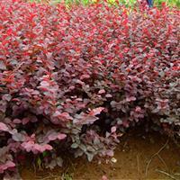 红花继木球,红花继木小苗价格,红花继木价格有惊喜!