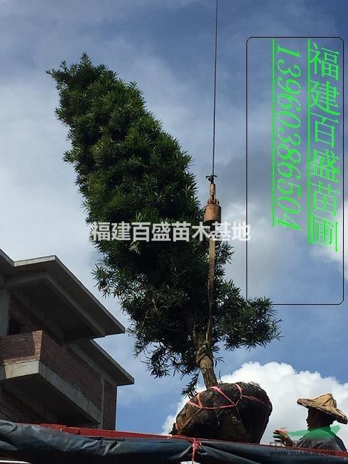 首页 绿化苗木频道 苗木供应 绿化苗木 乔木 福建塔型罗汉松  供应