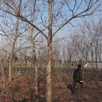 供應重陽木、櫸樹、楓香、櫻花、垂柳、黃連木、叢生樸樹、七葉樹
