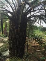 福建布迪椰子 布迪椰子15公分价格