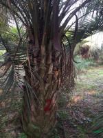 布迪椰子3行情报价\布迪椰子3图片展示