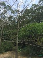 福建木棉4