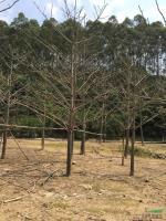 木棉供应/木棉图片