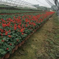 冬季【时令花卉基地直销】江苏常州供应三色堇,角堇,羽衣甘蓝等