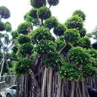 福建造型榕树2~7米