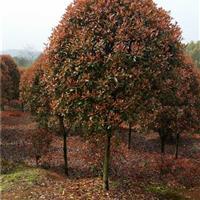 红叶石楠球红叶石楠球价格红叶石楠树打造高质量生活品质
