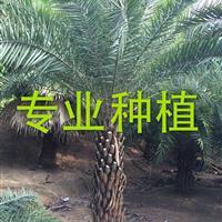 福建中东海枣 中东海枣供应 中东海枣批发 中东海枣树