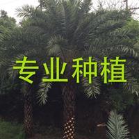 2017年中国园林网—银海枣*新报价!!!