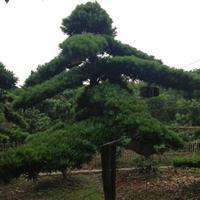 造型罗汉松12公分造型罗汉松18公分造型罗汉松20公分罗汉树
