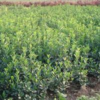 供應大葉黃楊綠籬苗、大葉黃楊球供應、大葉黃楊球價格