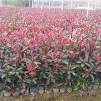 大量现货批售红叶石楠杯苗红叶石楠球工程苗