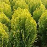 大量供应沭阳洒金柏绿篱色块苗、洒金柏分栽苗、洒金柏工程苗