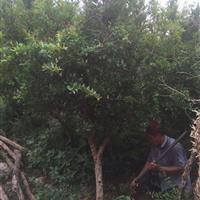 大量供应石榴、花石榴、石榴树工程苗