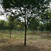 大量供應江蘇櫸樹價格、沭陽櫸樹綠化苗木工程苗