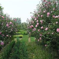大量供应木槿、丛生木槿、独杆木槿工程苗