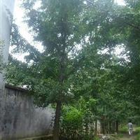 大量供應江蘇銀杏、沭陽銀杏8-35公分工程苗