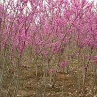 供应巨紫荆、丛生紫荆、独杆紫荆工程苗