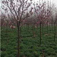 供应沭阳红玉兰、紫玉兰苗圃、工程苗