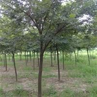 供应朴树、丛生朴树、朴树价格、朴树苗木