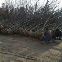 供应枫香10-25公分、枫香价格、枫香苗木