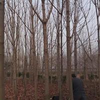 供应七叶树、七叶树价格、七叶树苗木