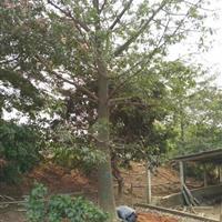 福建供应5~50公分美人树