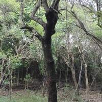 福建供应5~40公分鸡冠刺桐