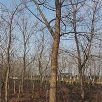 供应8-25公分重阳木、重阳木价格、重阳木工程苗