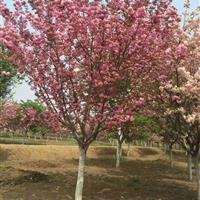 供应8-18公分樱花、樱花价格、樱花苗木
