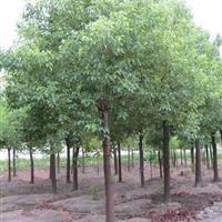 供应香樟价格、香樟图片、香樟产地、香樟绿化苗木苗圃直销
