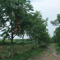 供应栾树价格、栾树图片、栾树产地、栾树绿化苗木苗圃基地