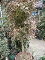 浙江雞爪槭*新報價/雞爪槭圖片