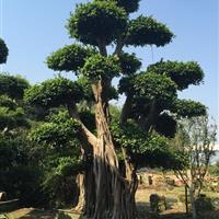 福建造型榕树桩头 漳州提根小叶榕桩头 漳州榕树桩